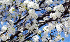 Photo of cherry blossoms at Fuqua